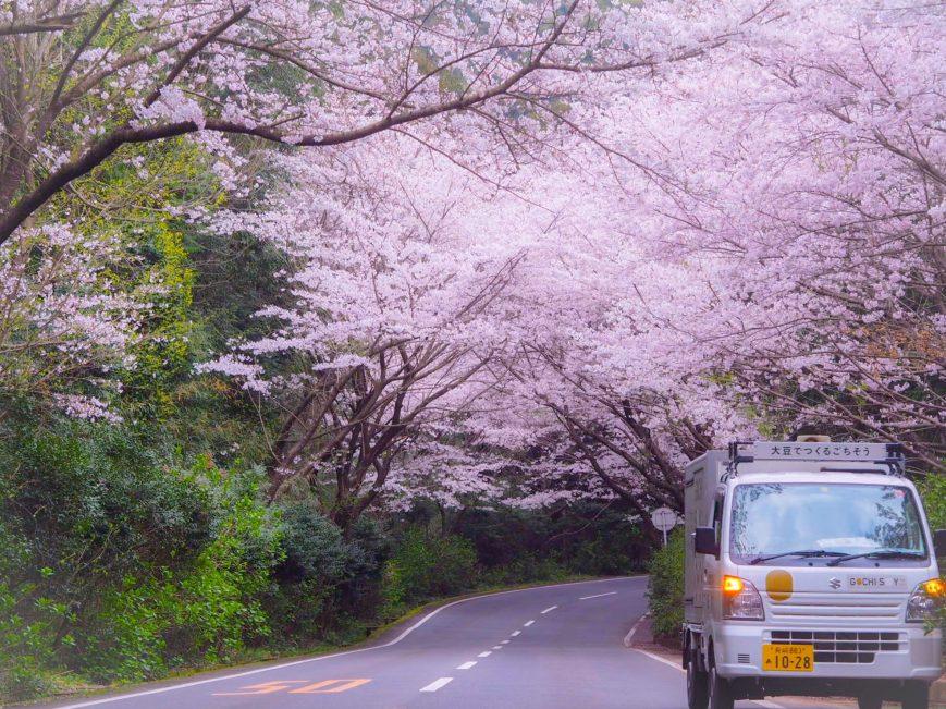 ゴチソイと桜